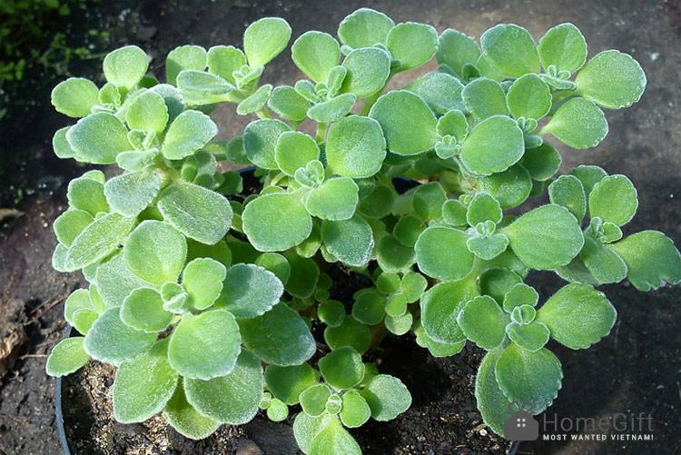 Nhất-mạt-hương---Sen-đá-lá-thơm---Cây-Vượng-tài-Plectranthus-hadiensis-var-tomentosa