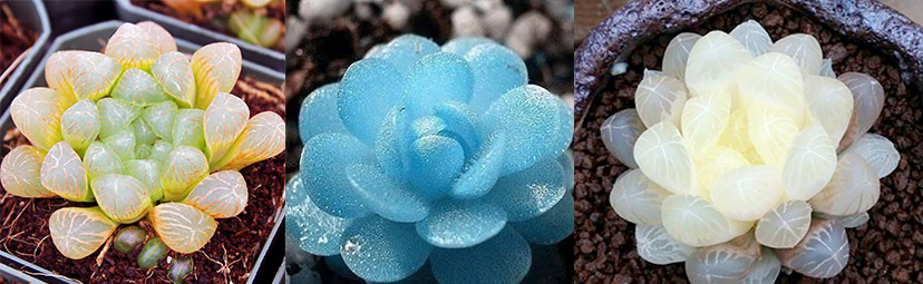 Sen đá kim cương đẹp lung linh nhưng rất hiếm và khó trồng