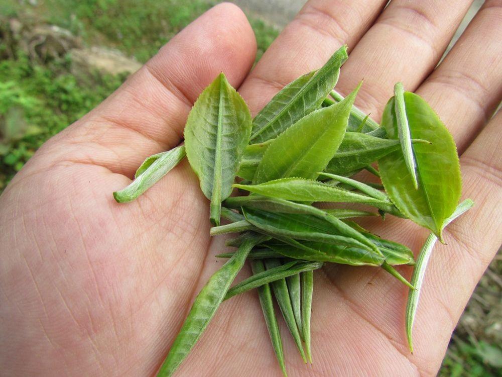 Trà Nõn Tôm được thu hoạch từ phần nõn non nhất của búp trà