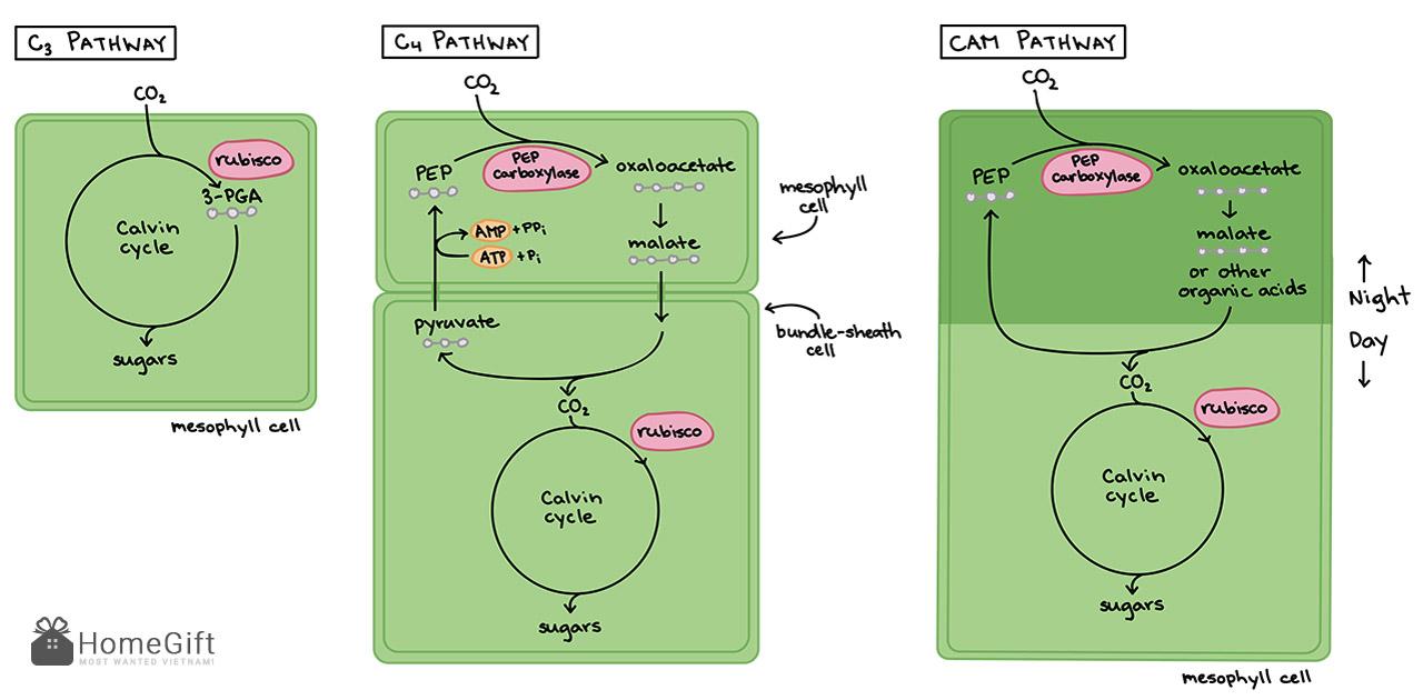 So sánh chu trình quang hợp của thực vật C3, C4 và CAM
