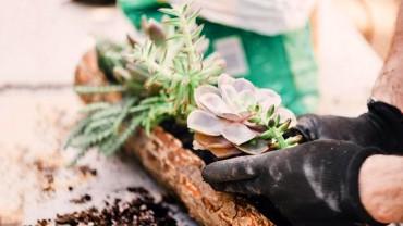 Những sai lầm mà ai cũng gặp khi trồng sen đá